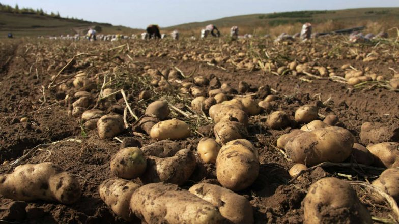 Potatoes Boost Athletic's Performance, Says Study