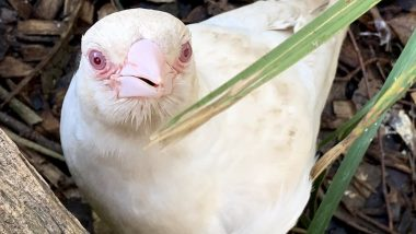 Rare Albino Magpie Spotted Living In Tasmania's Trowunna Wildlife Sanctuary (Watch Video)