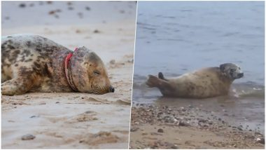 Seal Found With Frisbee Stuck Around Its Neck Released Back Into Norfolk Beach in UK After Recovery (Watch Video)