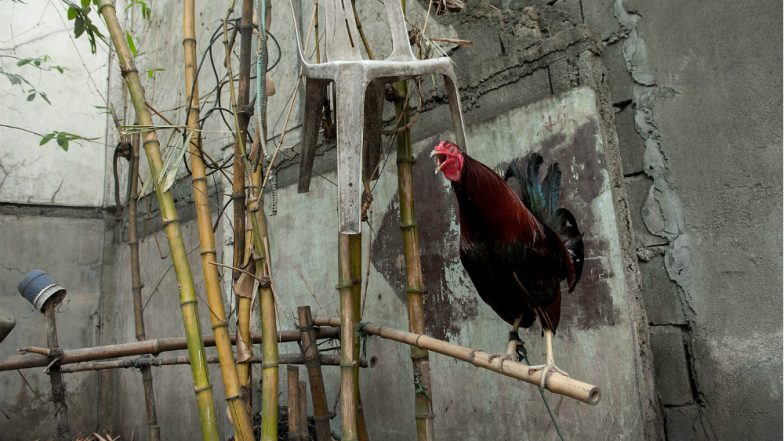 Pune Woman Complains Against Rooster's Crowing That Didn't Let Her Sleep