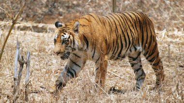 Royal Bengal Tigers Becoming Extinct! Big Cats In Sunderban May Not Survive Global Warming, Says UN Report