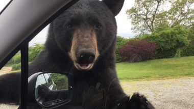 Wild Bear Opens Woman's Car Door in Rhode Island, Terrifying Pictures From Narragansett Go Viral