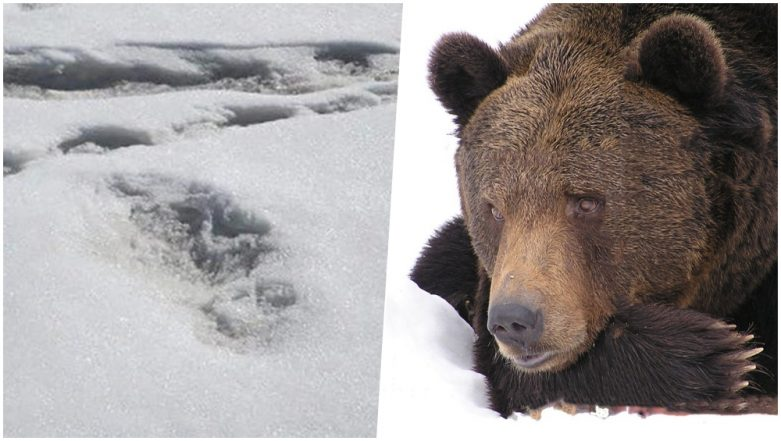 Is Yeti Real or Not? 'Himalayan Mythical Beast' Footprints Shared by Army Most Likely Belong to Bear, Says Science Experts
