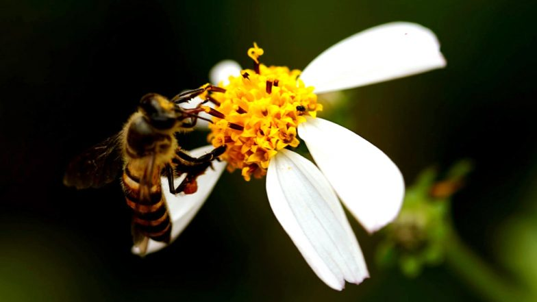 World Bee Day 2019: Date, Significance & Theme of the Day Dedicated to Honey Bees