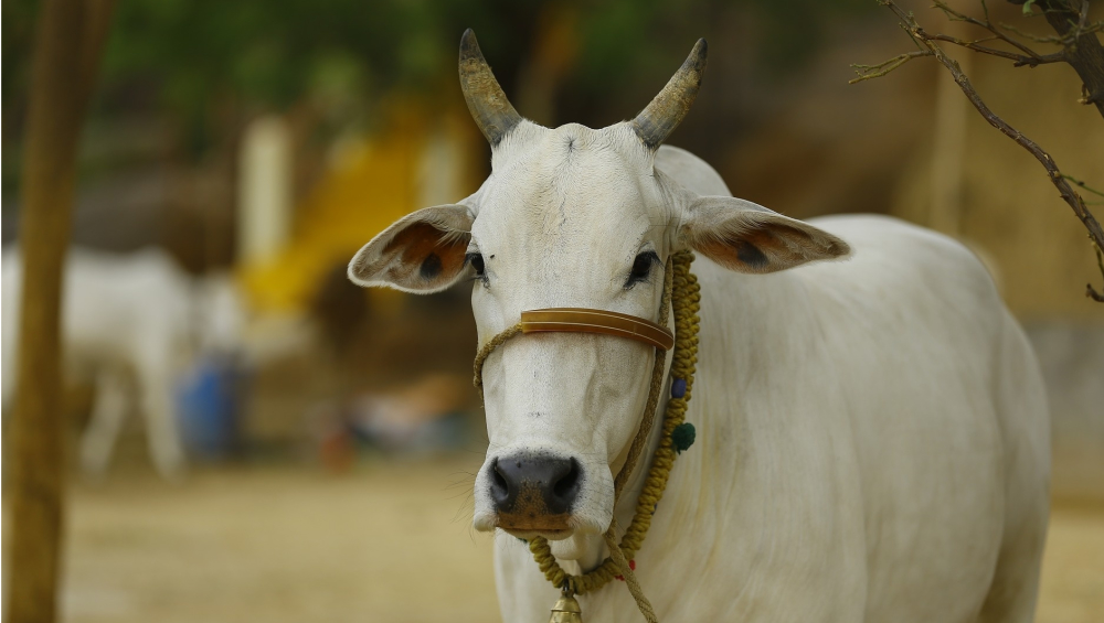 Mumbai Shocker: Ailing Cow Dies After Owner Confines Animal to Shuttered Shop Without Food, Water & Ventilation
