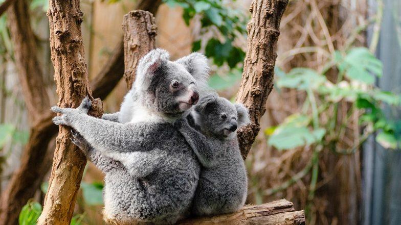 Koalas Are 'Functionally Extinct'! Only 80,000 Remaining, Says Australian Koala Foundation