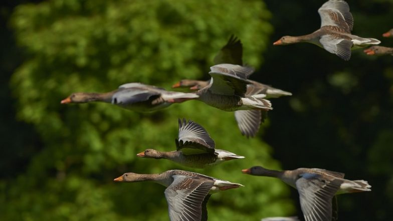 World Migratory Bird Day 2019 Date and Theme: Significance of the Day That Aims to Save Birds And Their Habitat