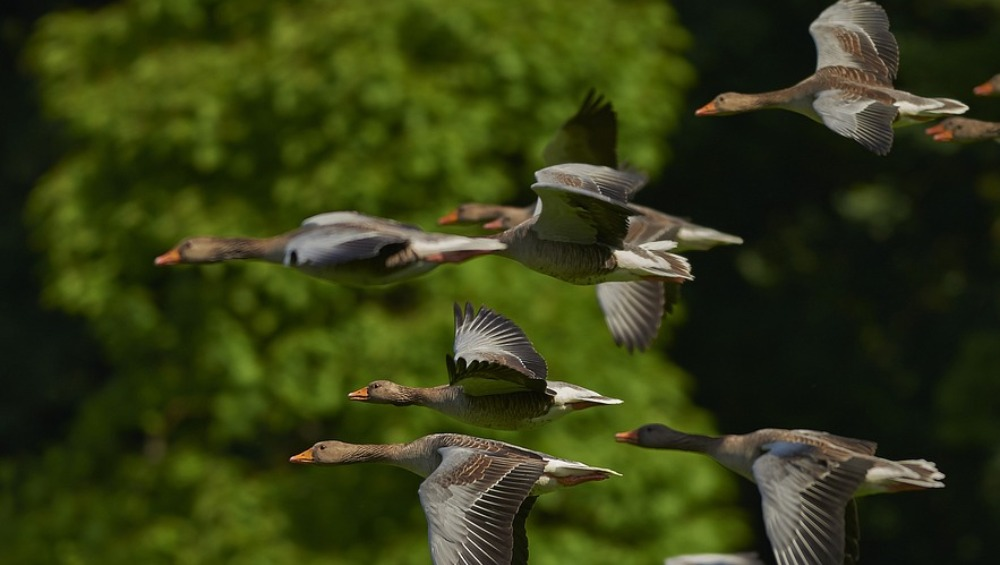 Rajasthan: Thousands of Migratory Birds Die Mysteriously in Sambhar Lake Near Jaipur