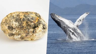 Whale Vomit Worth Rs 1.3 Crore Smuggled in Mumbai! Know About The Rare Substance 'Ambergris' Produced by Sperm Whales