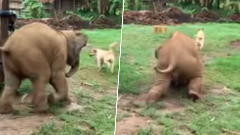Video of Clumsy Baby Elephant Chasing Dogs Is Your Today's Serving of Utter Cuteness!