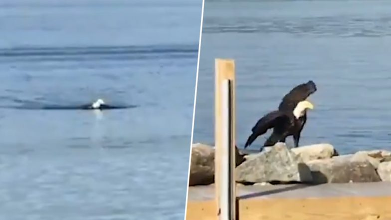 Stunning Video of a Bald Eagle Swimming in New Hampshire Goes Viral Surprising Netizens