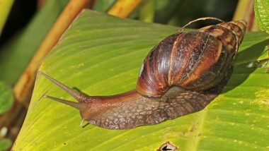 Giant African Snails Invade Kerala and Make It Their Home; Here's Why Locals Aren't Happy