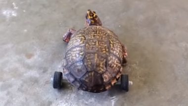 Turtle on Wheels! Box Turtle Gets Legos Wheelchair After Losing Hind Legs (Watch Video)
