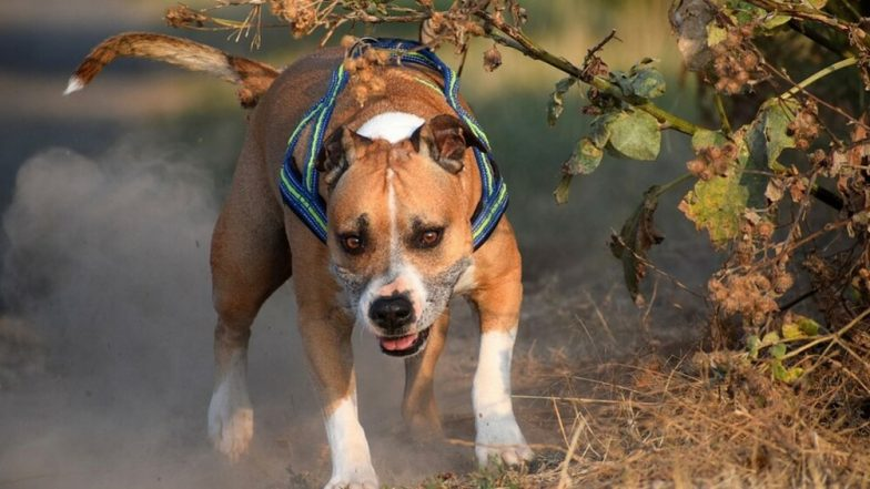 Pitbull Mauls 12-Year-Old Girl, Punjab Court Sentence Dog Owners to 6 Months in Prison and Rs 1000 Fine