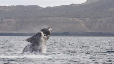 Ever Heard a Whale Sing? Scientists Record 'Song' of Rare North Pacific Right Whale