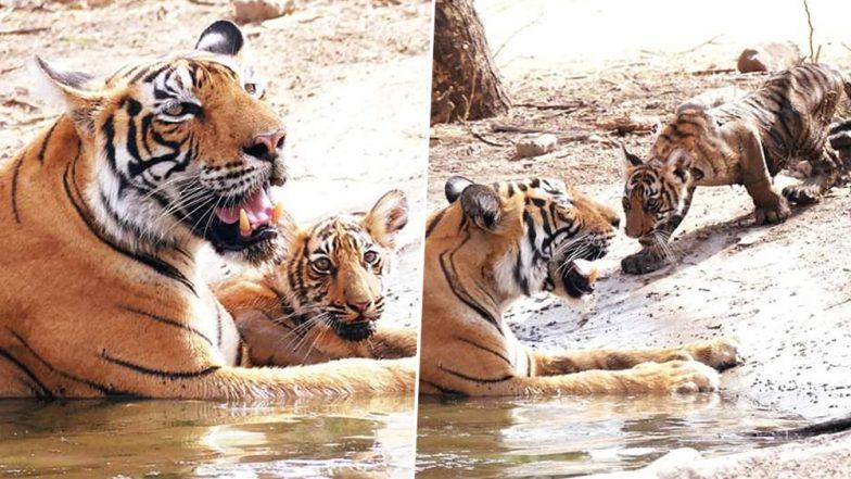 Ranthambore National Park Tigress T-73 Gives Birth to Three Cubs, View Pics
