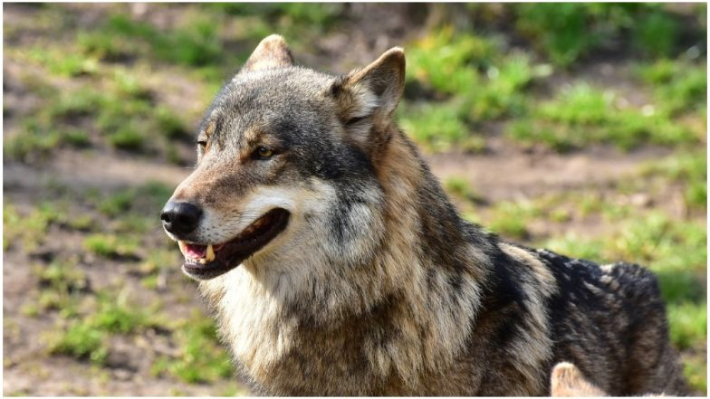 20480c29e9814 Severed Head of Giant Wolf That Lived 40,000 Years Ago Found Perfectly  Preserved in Siberian Permafrost