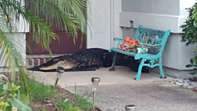 Florida Man Returning From Night Shift Shocked to See an Alligator Welcoming Him! (View Viral Pic)