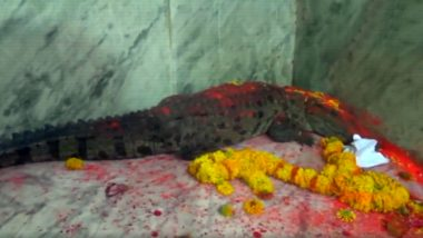 Crocodile Rescued by Forest Department Officials in Mahisagar, Gujarat