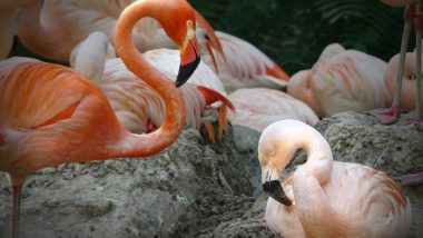 Same Sex Flamingo Couple's Romance Is the Best Viral Moment This Pride Month, Love Birds May Even Raise a Chick Together