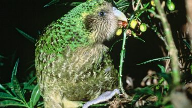 Kakapo Threatened by Fungal Infection! Know Interesting Facts About World's Fattest Parrots