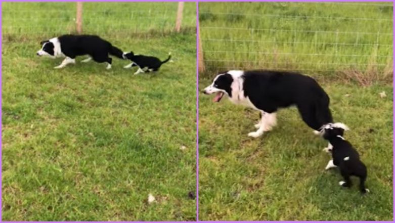 Cute Puppy Wants Sheepdog Buddy to Play With Her, Captured Catching Its Tail on Camera (Watch Hilarious Video)