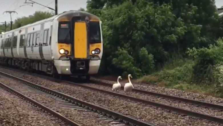 Family of Swan Makes UK Train to Run at Snail's Speed, Watch Adorable Video