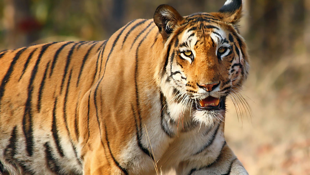 Indonesia: Foetuses of 4 Critically Endangered Species of Sumatran Tiger Found in Jar