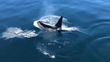 Viral Video of Killer Whale Swimming With a Pod of Dolphins Alongside Fishermen's Boat off Cape Cod Will Mesmerize You