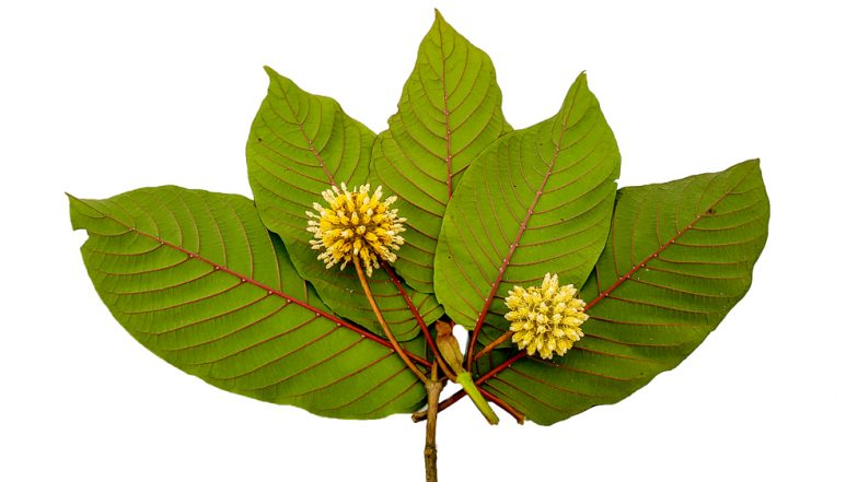 Kratom: From Health Benefits to Side Effects, Everything about the Controversial Supplement