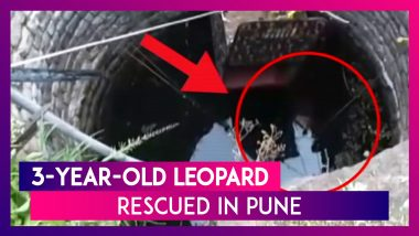 Pune: 3-Year-Old Leopard Rescued From a Well by Forest Officials