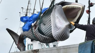 Japan Fisherman Catch First Whales As Commercial Hunts Resume After 30 Years