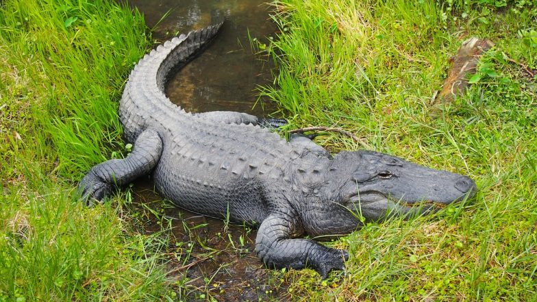 Alligators Get High on Drugs People Flush Down the Toilet, Tennessee Police Warn Against 'Meth-Gators'