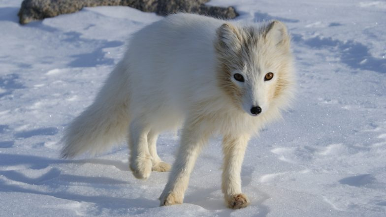 Arctic Fox Covers Distance Of 3,500 Kms From Norway to Canada in 76 Days! Sets Record For Fastest Movement Ever Seen in The Species