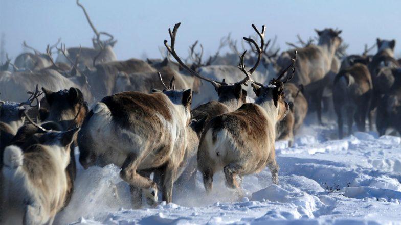 Climate Change Blamed for Deaths of 200 Arctic Reindeer
