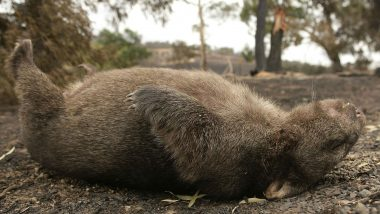 Australian Wombats Dying of a Strange Disease, New Drug Hopeful of Saving the Marsupials