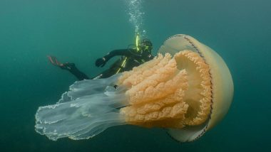 Jellyfish as Big as Humans Spotted by Divers in UK, View Stunning Pic of Barrel Jellyfish
