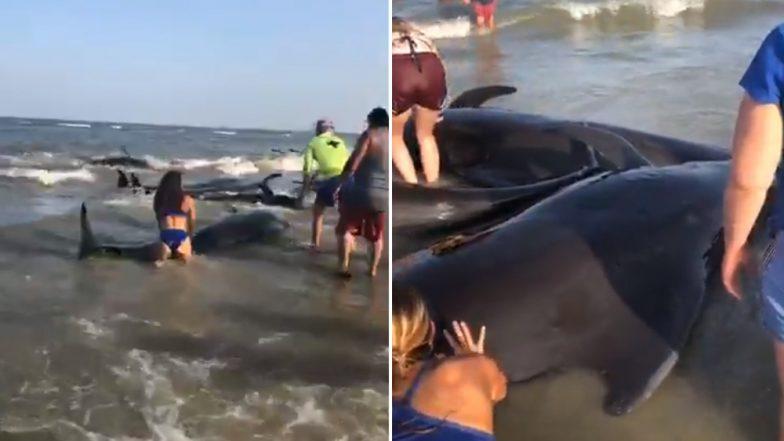 Beached Whale Pod Rescued by Beachgoers Off Georgia Coast, Video Goes Viral