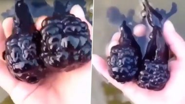Blackberry Goldfish Caught on Camera, Video of Two Big Black Oranda Wiggling Goes Viral
