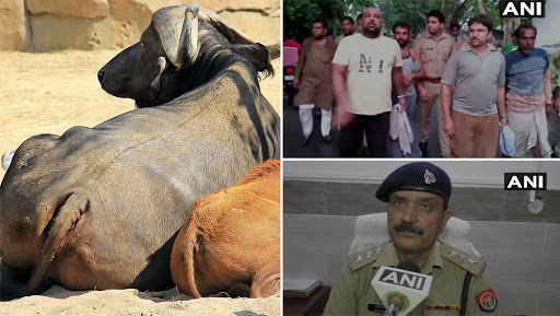 Illegal Slaughterhouse in Aligarh: Uttar Pradesh Police Conducts Raid; Rescues 65 Buffaloes, Seizes Calves Meat