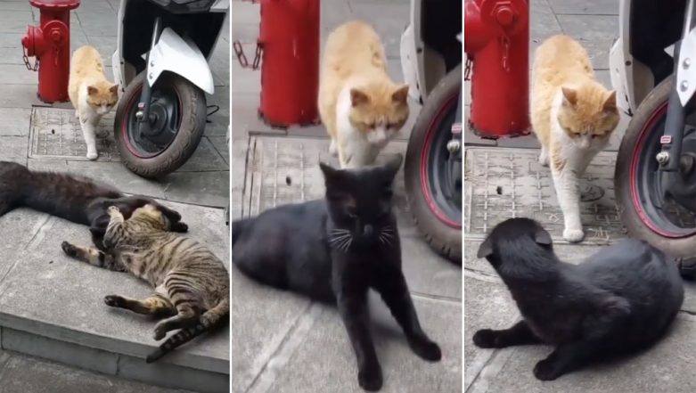 Cat Catches Partner Cheating With Other Feline and Its Reaction Is Straight Out of an Indian Daily Soap! Watch Viral Funny Video