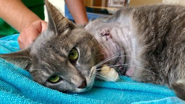 Horrific Animal Abuse! Cat's Leg Amputated After Firecrackers Tied to Paws Burst Causing Severe Injuries (See Pictures)