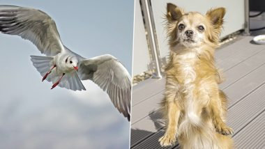 Chihuahua Carried Away by Seagull From Garden, Owner Makes Desperate Attempts on Facebook to Find Him