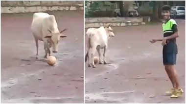 This Video of Cow Playing Football With a Group of Boys Will Make You Laugh For Sure (Watch Funny Video)