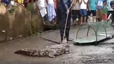 Crocodile in Chiplun! 4-Foot Reptile Strays Into Ratnagiri After Vashishti River Flows to Danger Level; Watch Video