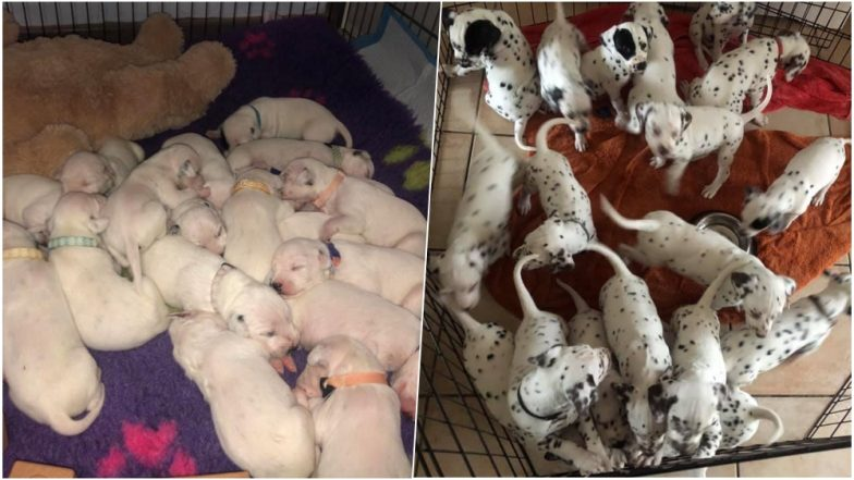 Dalmatian Female Dog Breaks Record by Giving Birth to 19 Puppies in Australia (Watch Cute Video)