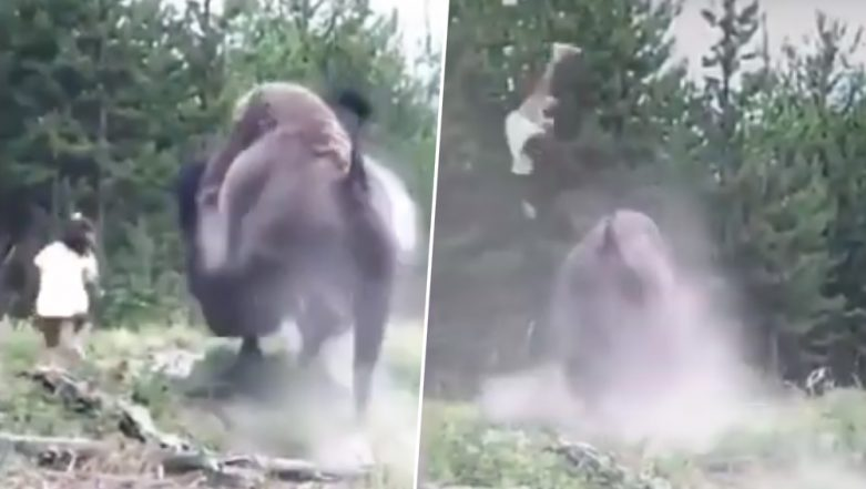 Bison Tosses 9-Year-Old Girl into The Air at Yellowstone National Park in Florida (Watch Horrifying Video)