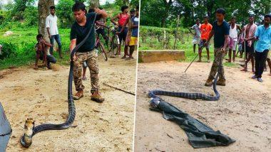 14-Foot-Long King Cobra Caught in Assam's Jiajuri Tea Estate, View Pics!