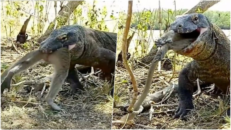 Komodo Dragon Eats a Whole Monkey Within Seconds! Terrifying Footage From Indonesia Goes Viral