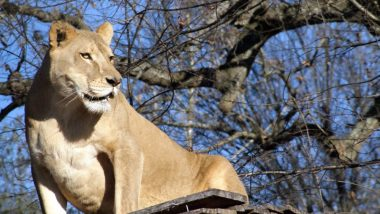 Sheba the Lioness Dies at North Carolina Sanctuary Due to Extreme Temperature Rise Across the US (See Pictures)